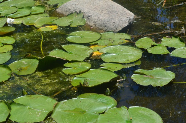 A frog actually sitting on a lily pad!!! when does that ever happen?!! often i guess!